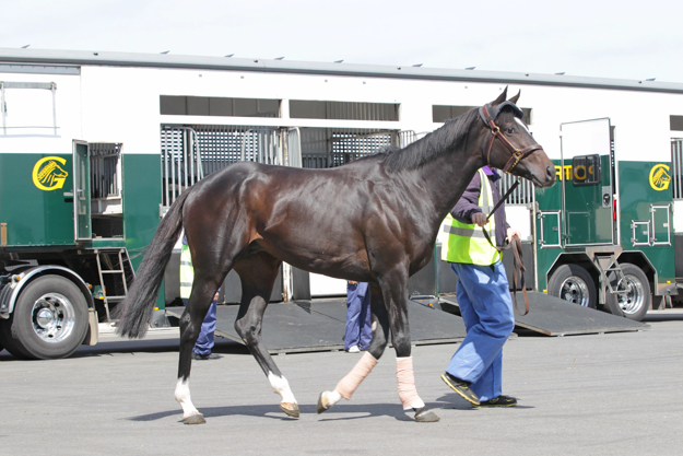 Ballydoyle's Adelaide arrives at the International Quarantine Centre, Werribee Racecourse. Photo via Racing Victoria.