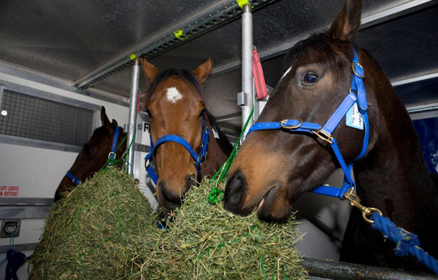 Yearlings in air stalls aboard a Singapore Airlines cargo flight. Photo: IRT.