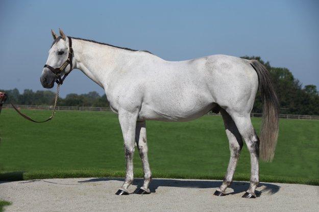 Kendargent at Haras de Colleville. Photo: ©OHOUDART.
