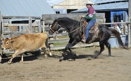 Forget Quarter Horses - ranch work is a job for a Thoroughbred
