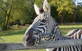 Laminitis treatment advancements from an unlikely source - a zebra