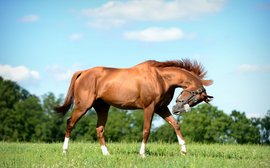 California Chrome: how Art Sherman sees the next stage in his career