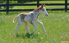 So what color is he? Say hello to this newborn son of Chrome's sire Lucky Pulpit