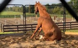 Meet 'Angus', the horse who sits like a dog, has a large Facebook following - and is very lucky to be alive