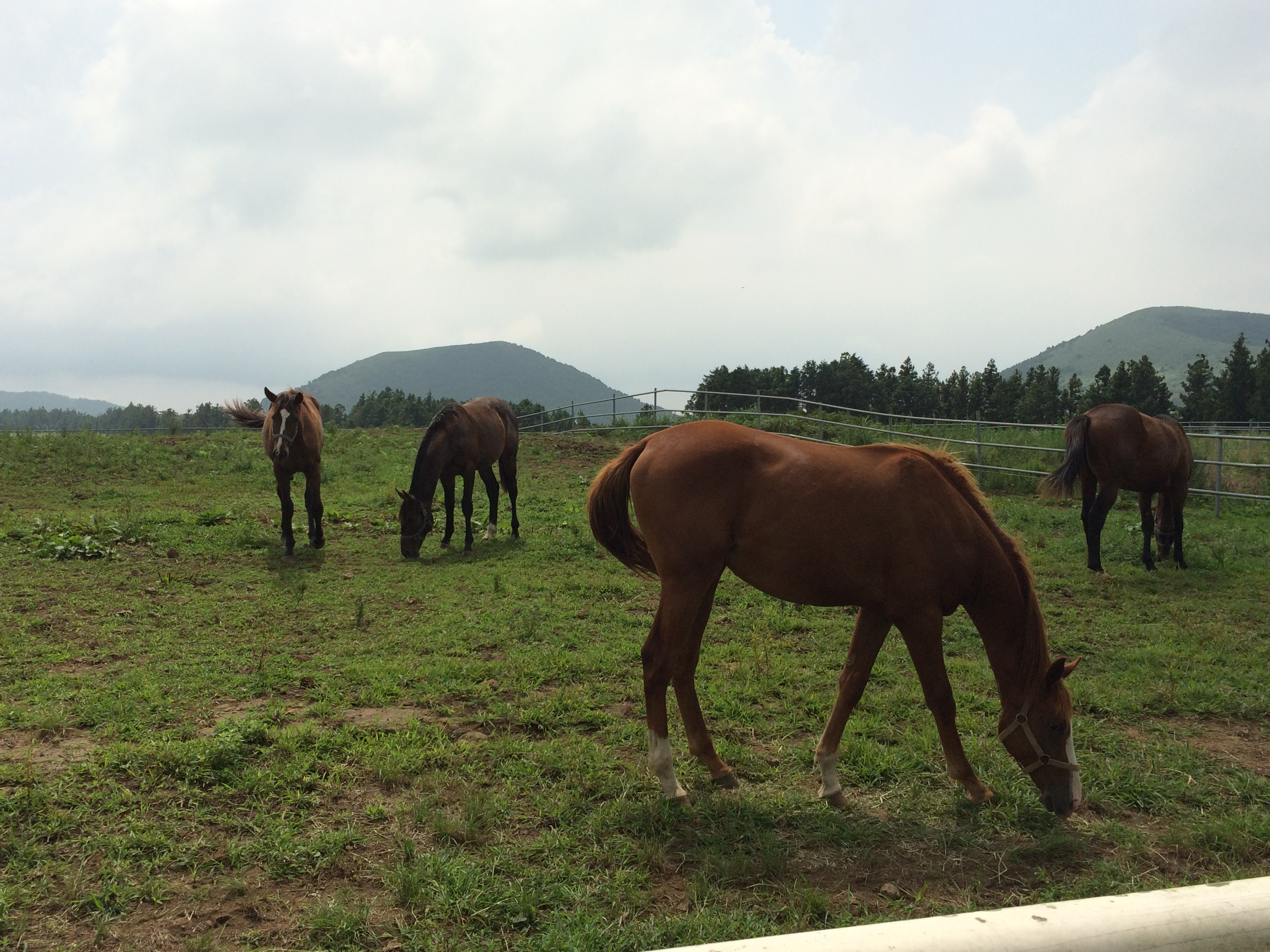 Nokwon Farm on Jeju: it may lack the rich vegetation of Kentucky, but the breeding industry in South Korea is definitely going places. Photo: Katherine Ford