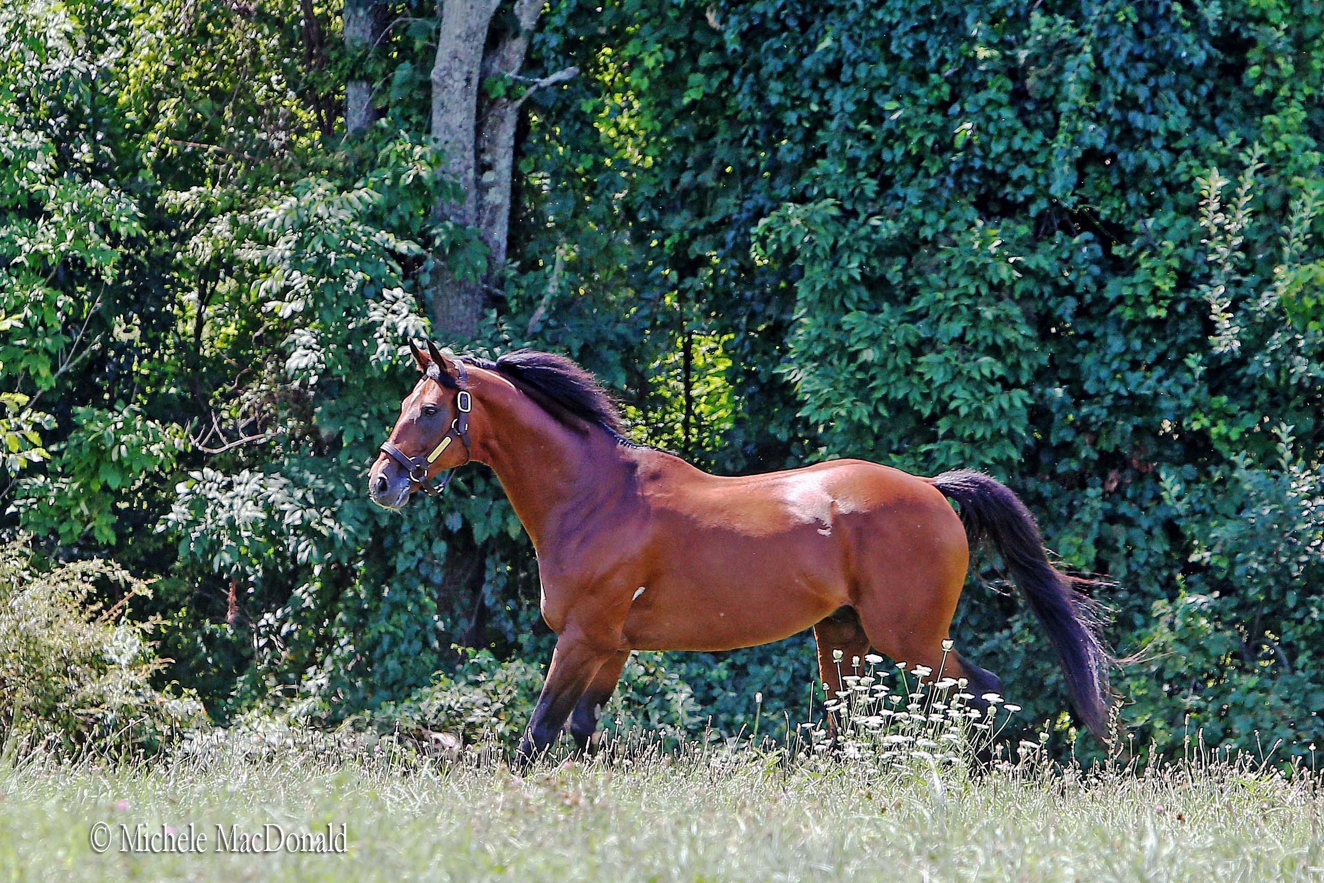 In his paddock at Dutchess Views Farm. Big Brown clearly has lost none of the energy that he showed in the star-crossed Triple Crown campaign of 2008. Photo: Michele MacDonald