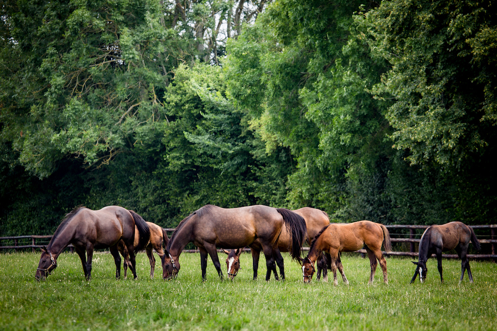 Mares and foals at the historic 150-acre Normandy stud Haras de Saint Pair. Photo: Zuzanna Lupa