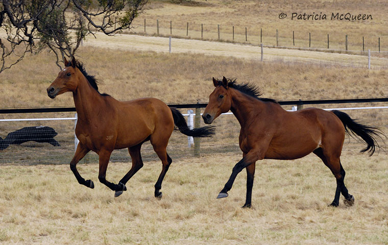 Running mates: 1999 Melbourne Cup winner Rogan Josh (left) and 1996 Caulfield Cup hero Paris Lane at sun-drenched Living Legends retirement park. Paris Lane, now 26, is the elder statesman at the park. Photo: Patricia McQueen