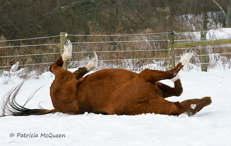 Fast Market's favorite thing to do is drop and roll, in dirt, on grass - or in the snow. Photo: Patricia McQueen
