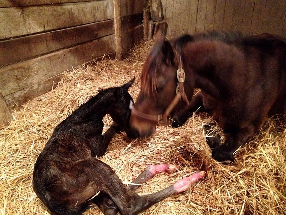 Birth of a star: Catch The Moon just after delivering the foal who would be named Girvin. Photo: Little River Farm