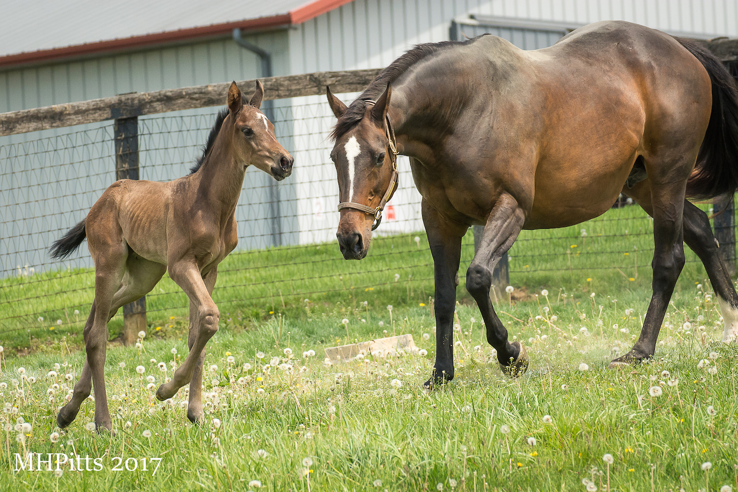 "Royal Mo's dam, Royal Irish Lass, with her newborn Honor Code filly, who ""might be the nicest filly we've ever had"", says Pam Robinson. Photo: Michelle Pitts"