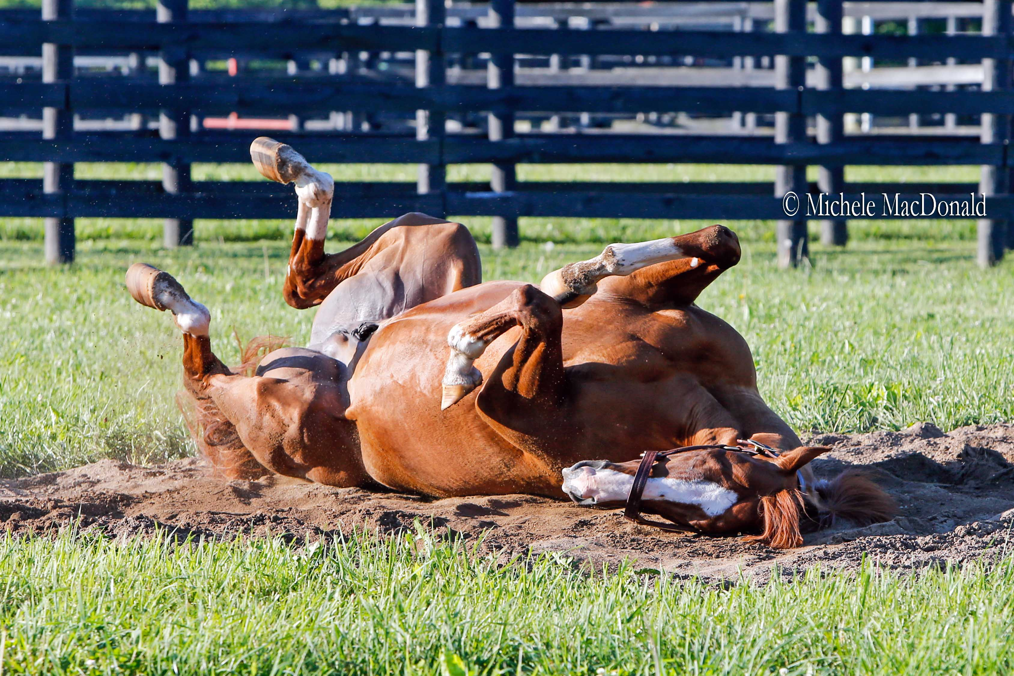 Chrome enjoys a vigorous roll in the sandpit in his paddock. Photo: Michele MacDonald