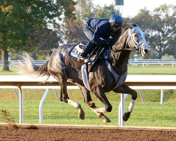 Working well: Liam's Map wears the breast girth for a spin at Keeneland before the Breeders' Cup there in 2015. He went on to win the Dirt Mile