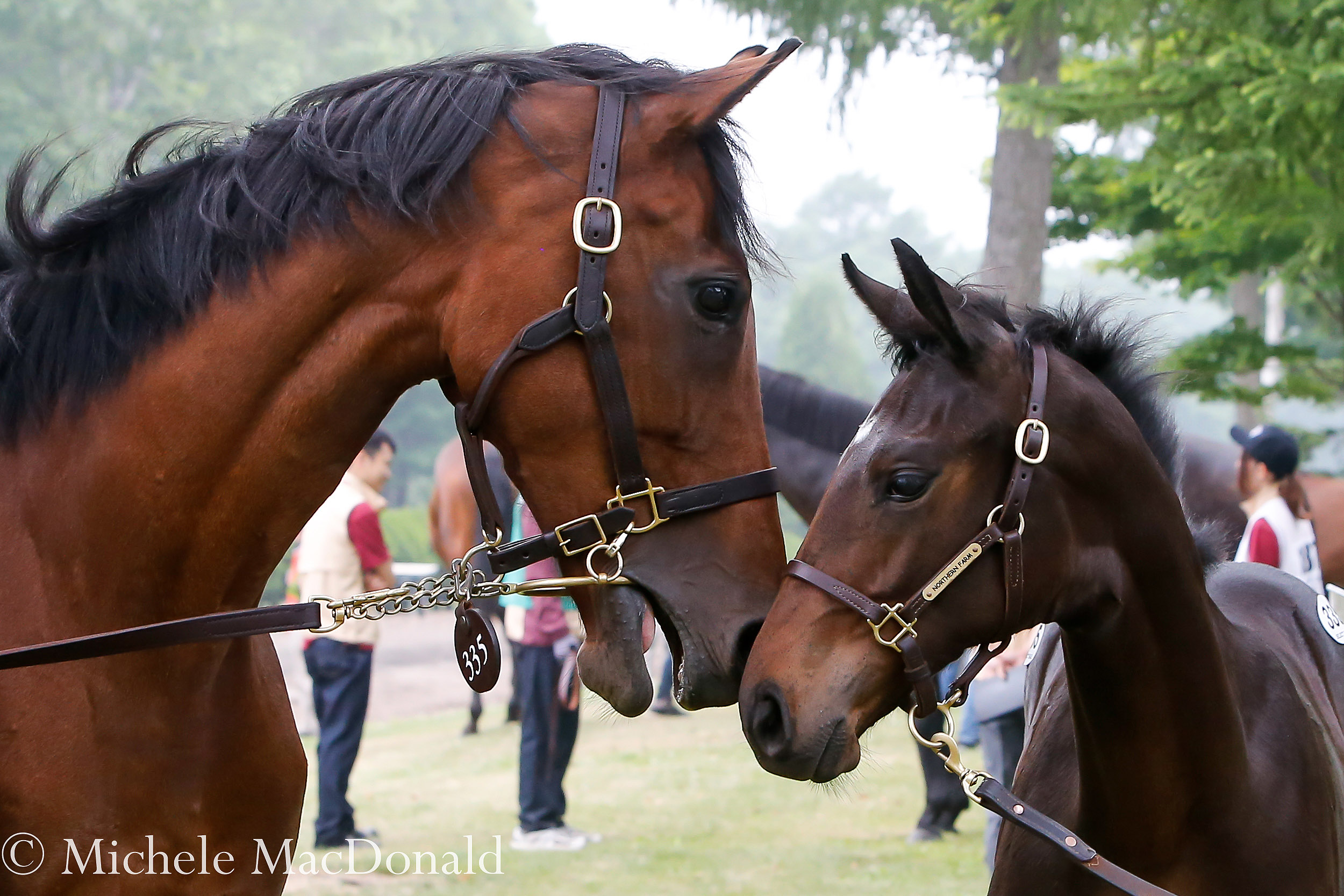 Trust in mother: the mare Land's Edge with her colt by Novellist. Consigned by Northern Farm, he was bought by SR Corporation for the equivalent of $403,000. Photo: Michele MacDonald
