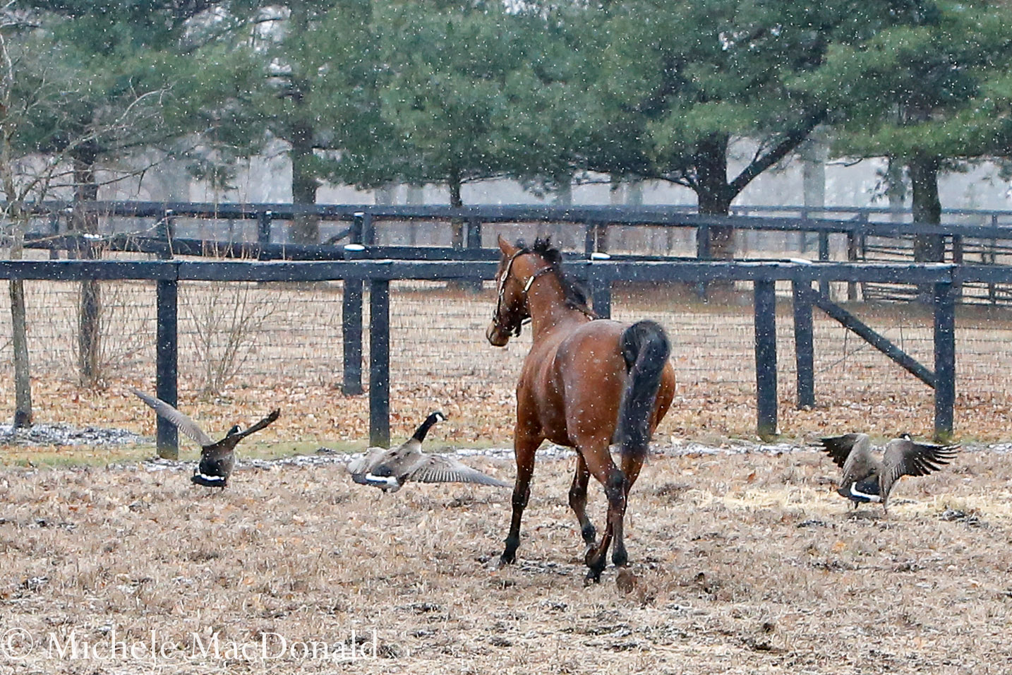 When she spied some Canada geese, Lady Eli put her head down and playfully chased them. Photo: Michele MacDonald