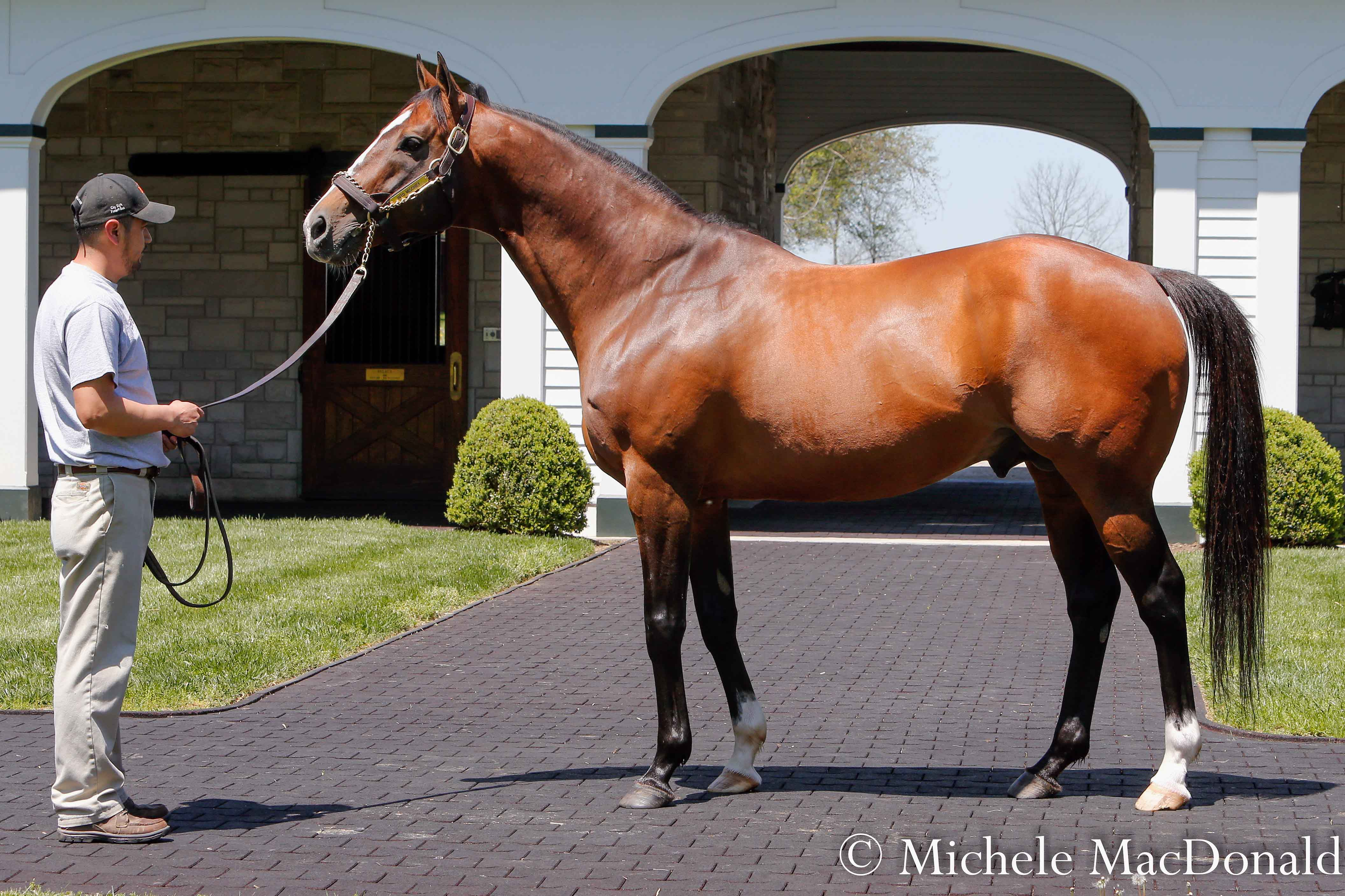 Star sire: Into Mischief, another son of Leslie's Lady, at Spendthrift Farm in Kentucky. Photo: Michele MacDonald