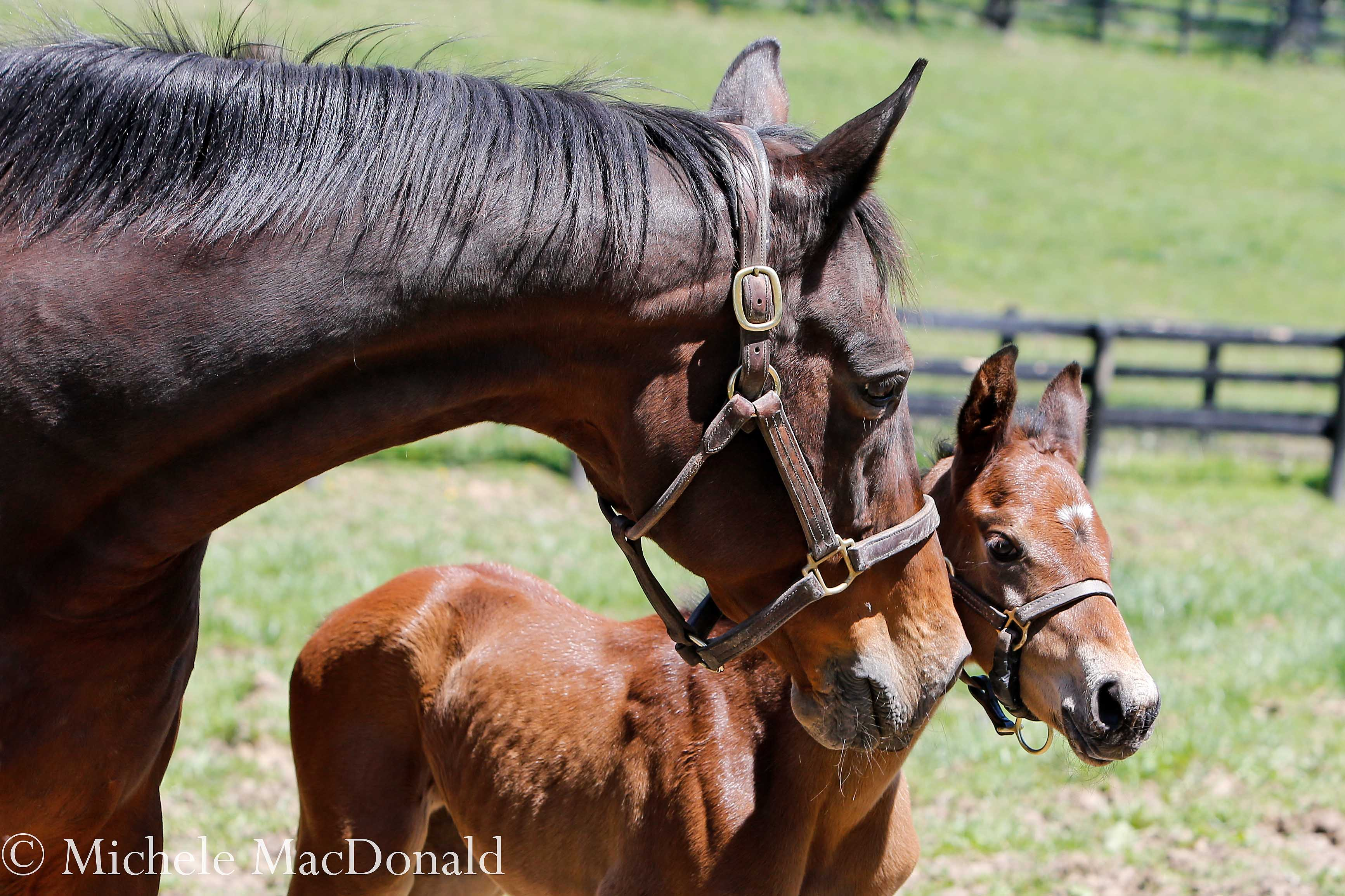 A mother's love: Leslie's Lady is taking the duty of raising her new baby with the same earnest commitment she displayed at Clarkland with Beholder and Mendelssohn. Photo: Michele MacDonald