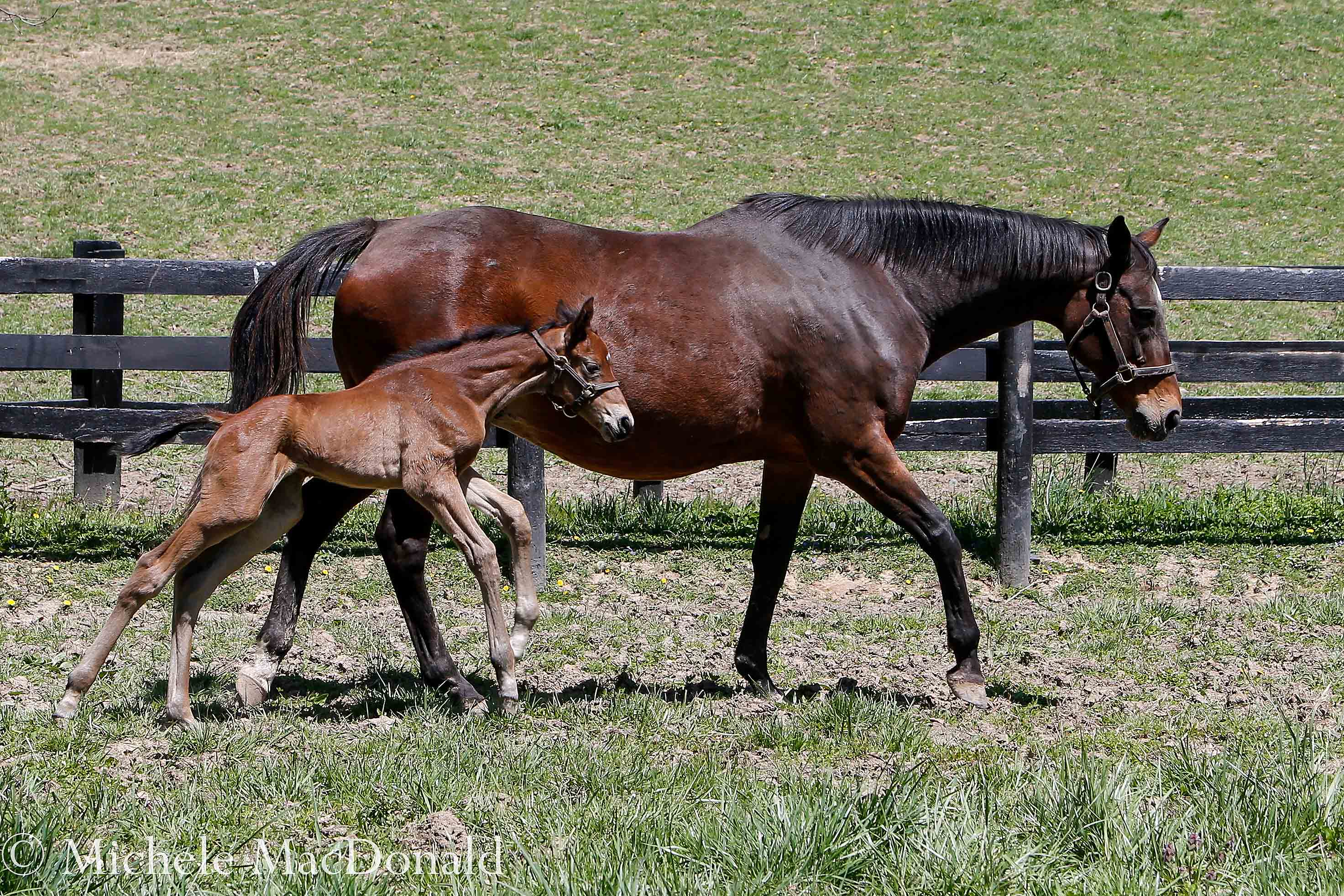 Leslie's Lady and her new foal, who is well made, moves like silk and seems to possess the serene nature of her sire. Photo: Michele MacDonald