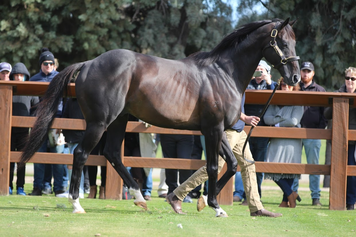 Americain: the 2012 Melbourne Cup winner, a picture of  strength and beauty at the Swettenham Stud stallion parade