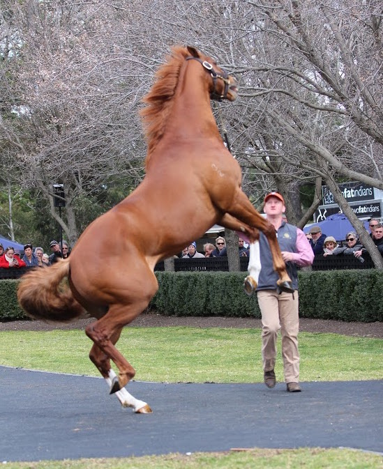 Palatino: the Australian Guineas winner got a little playful at the Sun Stud stallion parade