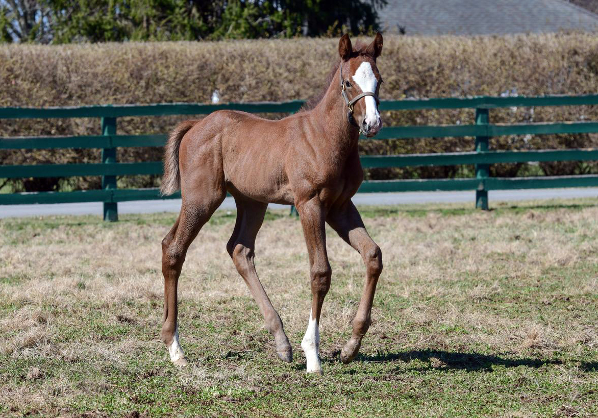 "More accolades: this filly out of Centre Court ""is a very, very nice individual with a ton of leg and a similar body to Arrogate,"" says Juddmonte's Leif Aaron. Photo: Juddmonte Farms"