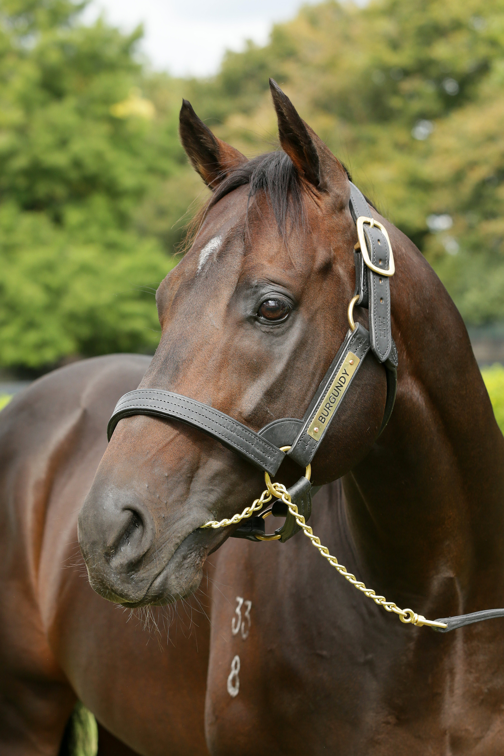 Cambridge Stud resident Burgundy is New Zealand's champion second-season sire